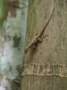 Anolis stratulus on a tree in the forest in Puerto Rico (photo by K. Winchell)