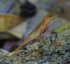 Anolis cupreus (photo by Tom Benson)