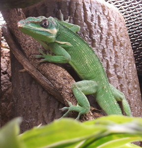Anolis equestris (photo Wikipedia)