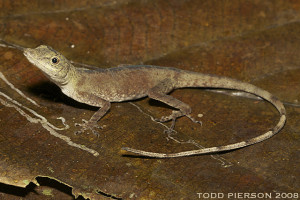 Anolis fuscoauratus (photo by Todd Pierson, Flickr)