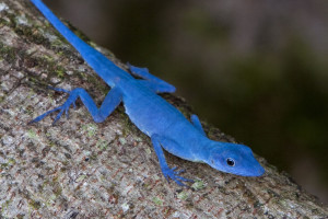 Anolis gorgonae (photo by Luke Mahler)