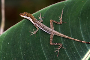 Anolis limifrons (photo by Loïc Denès, Flickr)