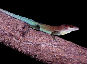 Anolis lividus (photo Wikipedia)