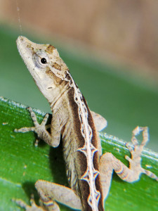 Anolis nebulosus (photo by Cheryl Harleston)