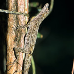 Anolis ortonii (photo by Roger Le Guen, Flickr)