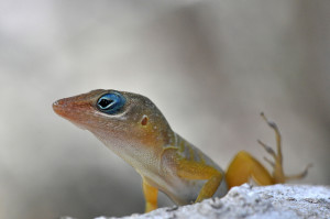Anolis pogus (photo by Mark Yokoyama, Flickr)
