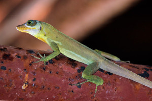 Anolis richardii (photo Wikipedia)