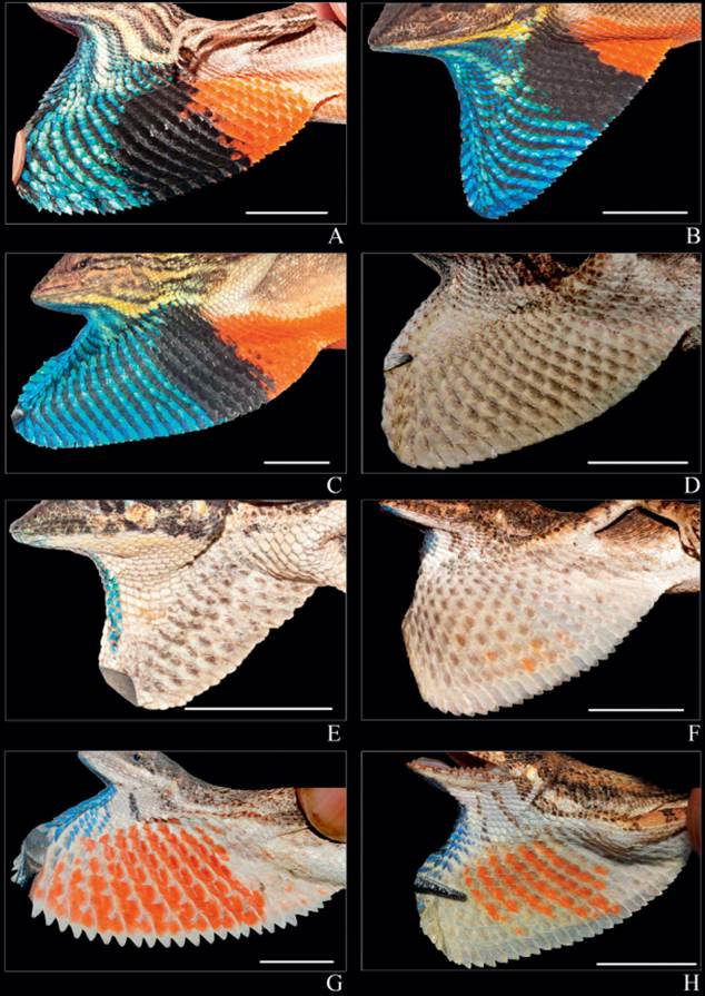 Dewlap morphology and colouration of Fan-throated lizards. Clade 1: A. Sarada darwini sp. nov., B. Sarada deccanensis comb. nov., C. Sitana superba sp. nov.; Clade 2: D. Sitana spinaecephalus sp. nov., E. Sitana laticeps sp. nov.; Clade 3: F. Sitana ponticeriana, G. Sitana visiri sp. nov., H. Sitana cf. bahiri. Scale bar = 10 mm