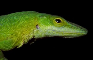 Anolis smaragdinus (photo by K. Winchell)