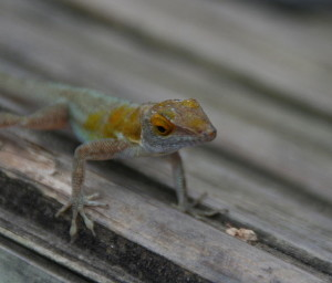 Anolis terraealtae (photo Wikipedia)
