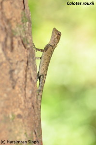 Female or juvenile male of Calotes rouxii.