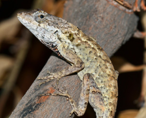 Anolis onca (photo by Jonathan Losos)
