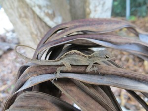 Hunchback Anolis sagrei (photo by Inbar Maayan)