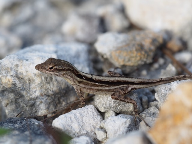 Anolis sagrei female on the ground (photo by K. Winchell)