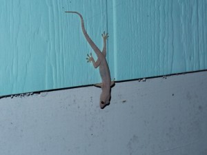 Hemidactylus on Abaco (photo by K. Winchell)