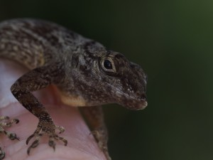 Anolis distichus (photo by K. Winchell)