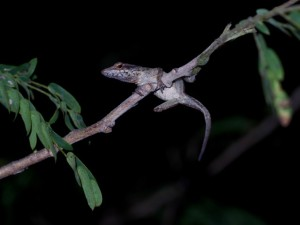 A stumpy Anolis sagrei missing a limb (photo by K. Winchell)