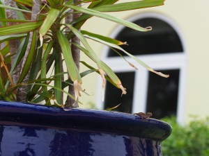 Anolis sagrei surveys the urban habitat in Nassau