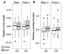 Fig. 5 from Winchell et al (2016). Offspring reared in captivity showed the same trend as wild-caught populations of more subdigital lamellae and longer forelimbs in urban individuals: (a) relative limb length and (b) subdigital lamellae number