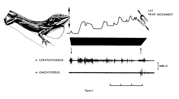 Adapted from Font & Rome (1990). Video recordings if displaying A. equestris were synchronized with EMG recordings of two hyoid muscles (M. certaohyoideus and M. omohyoideus) used during head-bobbing. Upper graph depicts vertical displacement of the head (ie. headbobs) through time, including the side-to-side movement of the head at the end of the display (display type A2 from Font & Kramer 1989, and observed in this photo series). Blackened block represents dewlap extension through time.