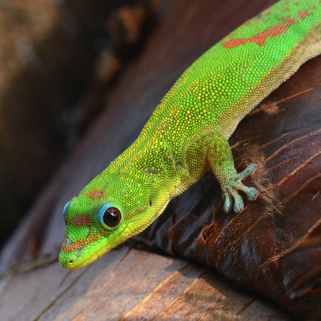 The gold dust day gecko was introduced to Hawaii in the 1980s. It is ecologically similar to the green anole, which was introduced to Hawaii in the 1950s.