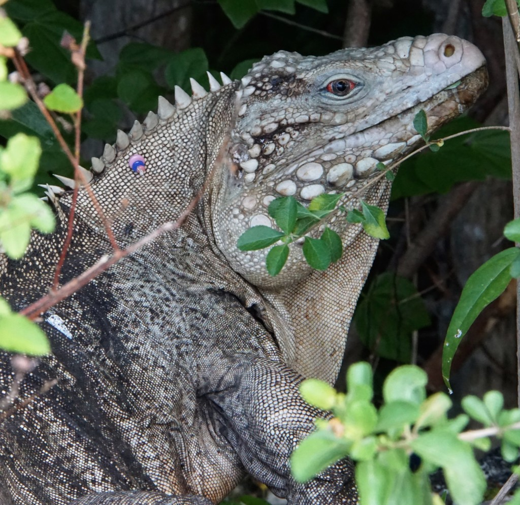 Cyclura nubila caymanensis - Little Cayman NH