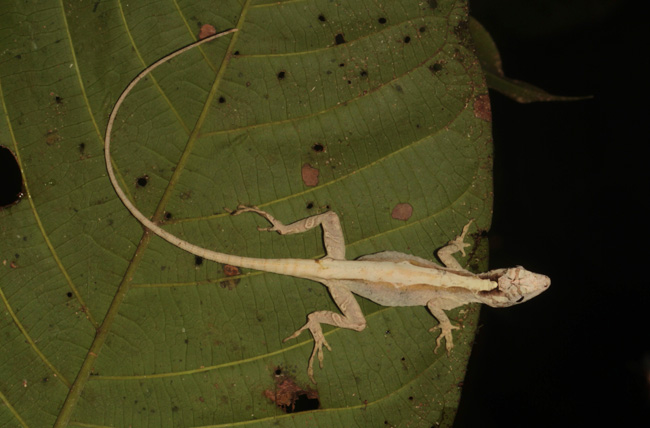 Figure 13. Unidentified anole.
