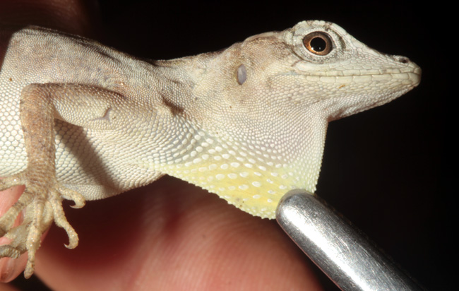 Figure 14. Unidentified anole with pale-colored dewlap.