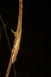 Fig. 2 Anolis limifrons