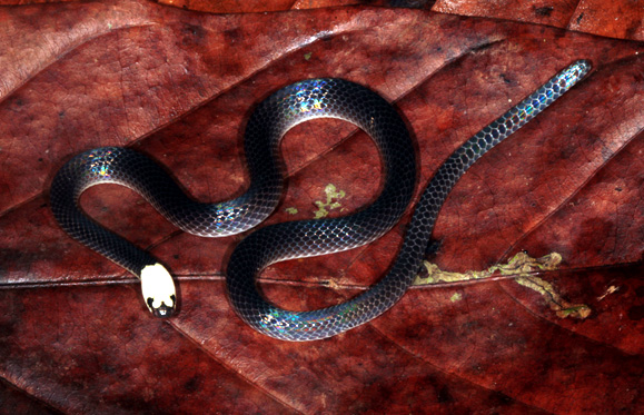Figure 8 Enuliophis sclateri, White-headed Snake
