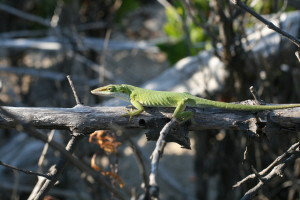 Anolis fairchildi, Cay Sal Island. Photo by RGR.