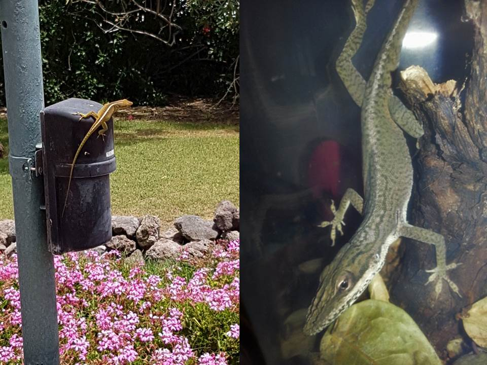 Anolis carolinensis (left) and A. porcatus (right), introduced to Tenerife, Canary Islands. [Left photo by G. Frías García; Right photo extracted from Neotropico Foundation].