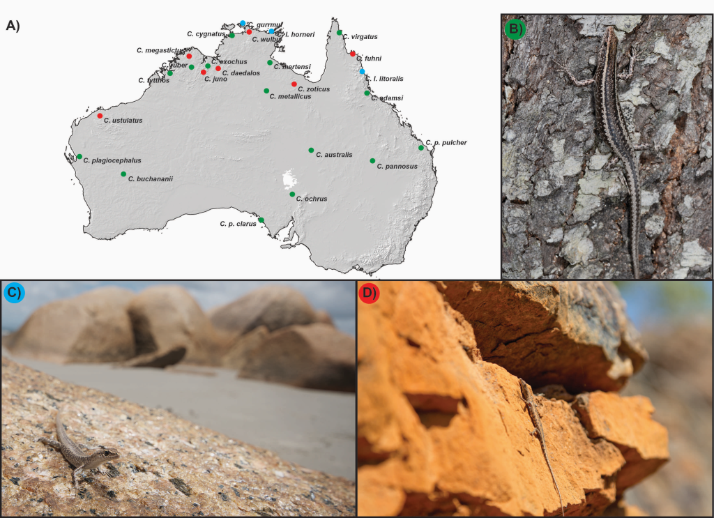 Distribution of Australian Cryptoblepharus and the three habitat specialists. (a) Topographic map of Australia with the mean point of each species' distribution plotted and coloured according to habitat type (for complete distribution maps, see Horner & Adams (2007). In situ photographs of (b) arboreal, (c) littoral, and (d) rock specialists (green, blue, and red dots on the topographic map, respectively).