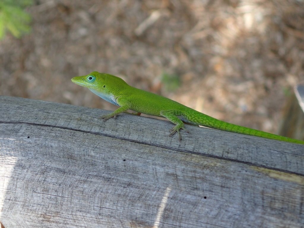 Anolis chlorocyanus after gliding back to the tower. Photo by Brian D. Farrell
