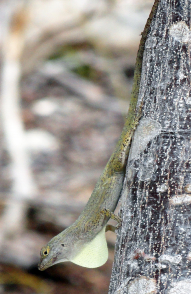 An adult male San Salvador Bark Anole (Anolis distichus ocior) displaying. Photograph by Guillermo G. Zuniga.