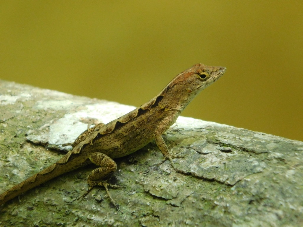Female Festive Anole (photo: Ambika Kamath)