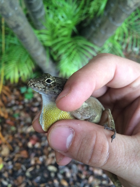 anole-small