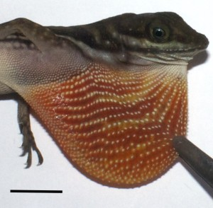 The dewlap of Anolis aquaticus. Bar represents 1 cm.