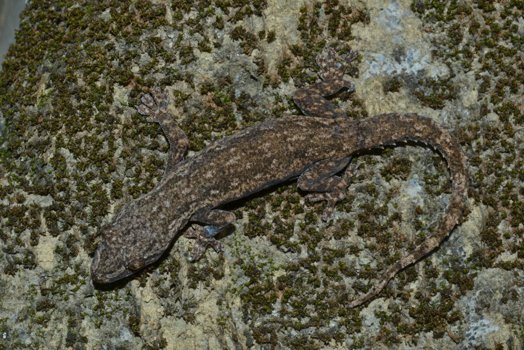 Hemidactylus frenatus is a very common species in southern Taiwan, where they are often seen near external lights on the walls of buildings.
