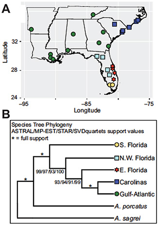 (A) Map showing geographic localities of 42 green anoles selected for targeted enrichment. (B) Results of species tree analyses. Colored symbols correspond to the five geographic and genetic clusters. Adapted from Manthey et al. (2016).