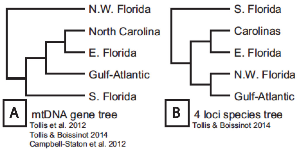 (A) Phylogenetic relationships of the major green anole lineages inferred from the ND2 mtDNA locus. (B) Phylogenetic relationships of the major green anole lineages using multi-locus species tree approach (1 mtDNA and 3 nDNA markers).