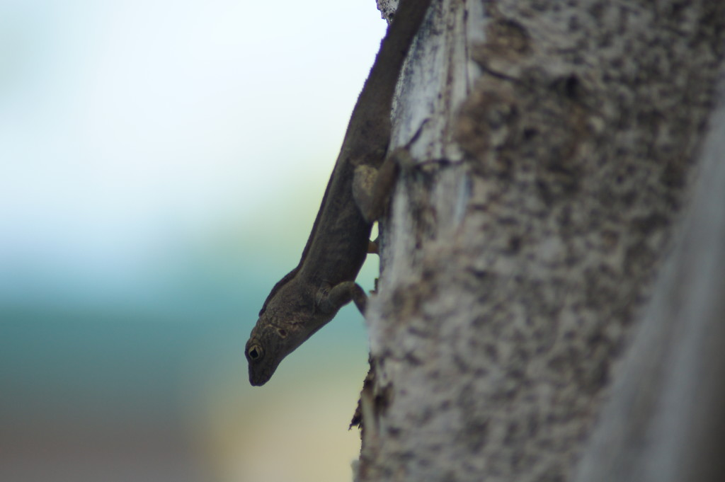 Exotic Anolis cristatellus on St. Martin