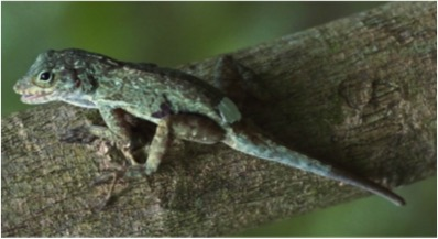 A. cristatellus with an autotomized tail in a forest habitat