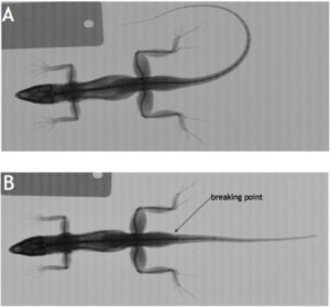 X-rays of our samples with an intact tail (A) and an autotomized tail (B).
