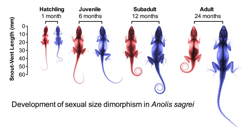 Development of sexual dimorphism in Anolis sagrei