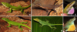 Anolis porcatus collected in Brazil, and comparison with the native anole A. punctatus. A, male A. porcatus showing green coloration. B, male A. porcatus showing brown coloration. C, the pink dewlap of male A. porcatus. D, female A. porcatus. E, male A. punctatus, a native anole species. F, the yellow dewlap of male A. punctatus. Picture credits: A–D, Mauro Teixeira Jr.; E, Renato Recoder.