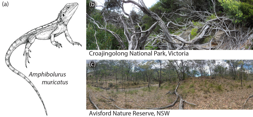 The habitats of (a) the Jacky dragon. (b) Croajingolong National Park, in coastal Victoria, Australia. (c) Avisford Nature Reserve, in New South Wales, Australia.