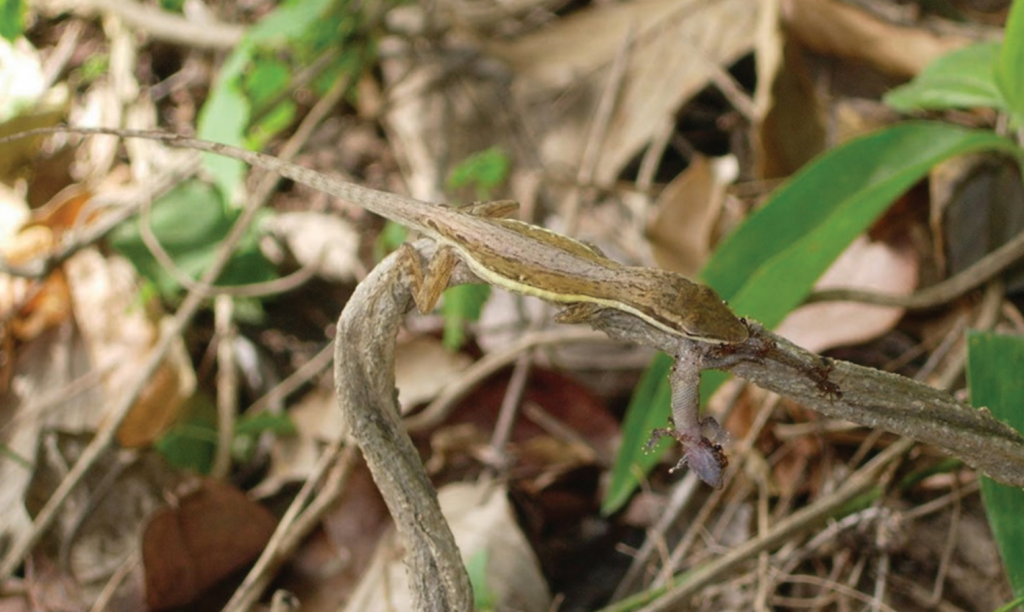 Fig. 1. Female Anolis pulchellus in the process of ingesting a Sphaerodactylus macrolepis.