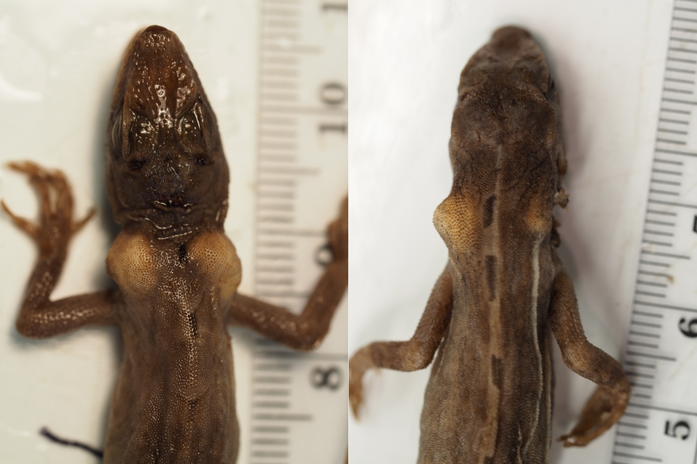 Enlarged endolymphatic glands in two A. lemurinus museum specimens
