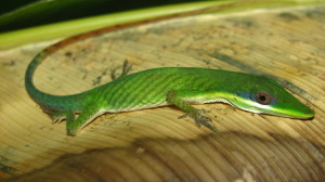 Fig. 4. Anolis dissimilis, the 'odd anole'.